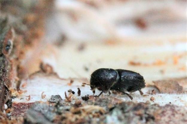 Granbarkborren är den insekt som gör mest skada på våra granskogar.