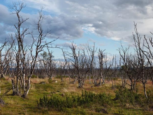 Arealen skadad fjällbjörk i norra Skandinavien har ökat de senaste årtiondena.