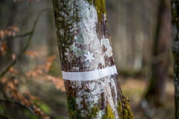 Biotopskyddad avenbok.