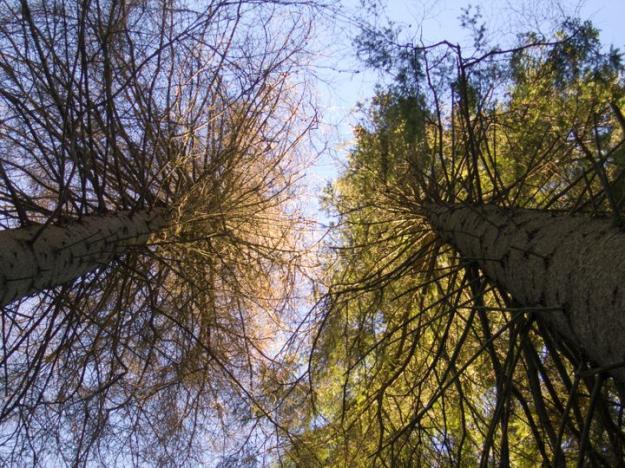 Till vänster ett träd dödad av granbarkborre.