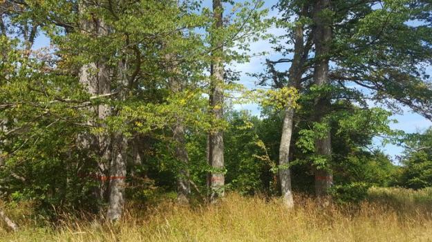 En fortsatt bekämpning av almsjuka är en förutsättning för att almarna inte ska dö ut på Gotland.