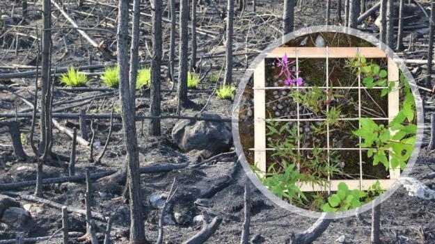 Bara några veckor efter branden i Västmanland började de första växterna återvända. Vegetationen har studerats i provrutor på hyggen i området.