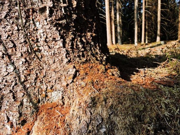 Brunt borrmjöl längst ner vid stammen är ett tidigt tecken på angrepp av granbarkborre.