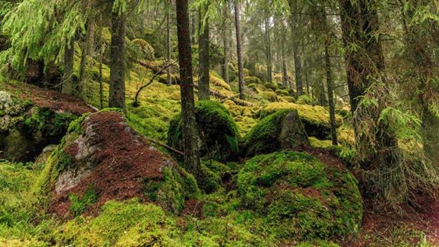 Naturskog börjar bli sällsynti Sverige.