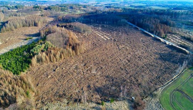 Död skog efter att ha angripits av granbarkborrar.