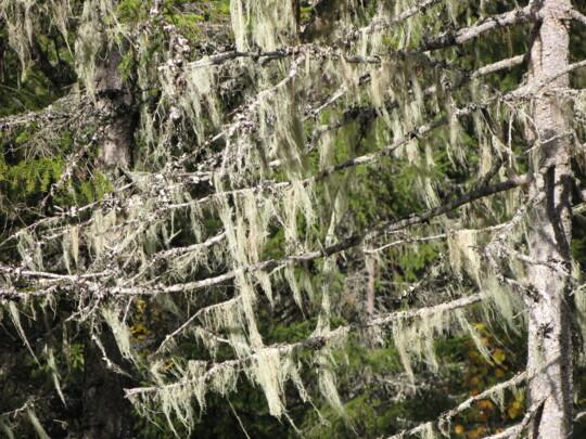 Ljusa hänglavar (garnlav, Alectoria sarmentosa) på gran i norra Sverige.