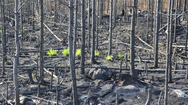 Bara några veckor efter branden började de första växterna återvända.