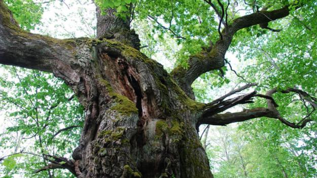 På Björkön finns det bland annat gammal ädellövskog.