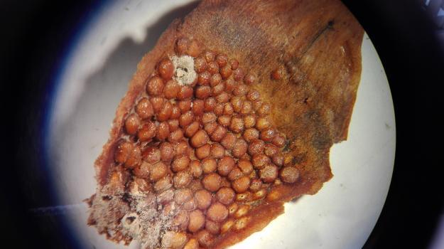 På undersidan av grankottens fjäll bildas aecidier, som kan fortsätta procudera aecidiesporer under flera år.