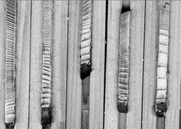 Årsringarna i en borrkärna avslöjar trädets tillväxthistorik. Kärnorna på bilden kommer från svartgran.