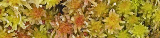 Vitmossor är ofta färgrika. Härett skottavtallvitmossa, Sphagnum capillifolium.