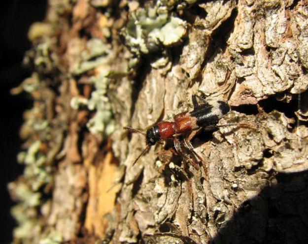 Myrbaggen äter både vuxna granbarkborrar och larver.