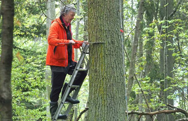 Per-Magnus Ekö, forskare vid SLU:s institution för sydsvensk skogsvetenskap, mäter dimensionen på en ek.