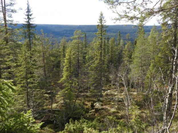 Naturskogarna i fjällområdet är det största intakta skogslandskap som fortfarande finns kvar i Europa.