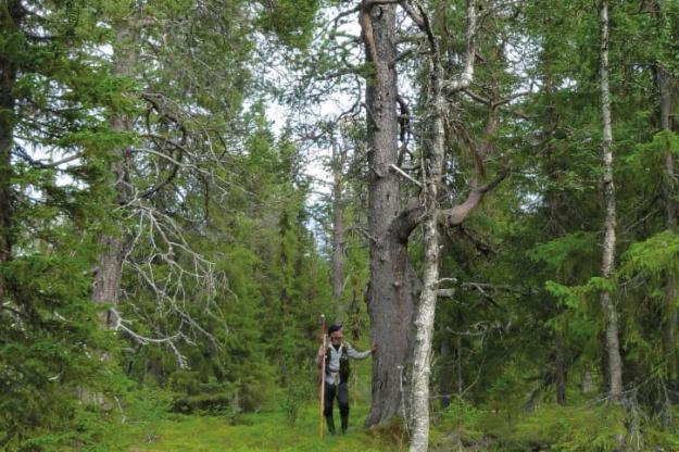 Tolv procent av skogsmarksarealen utgörs av skog äldre än 140 år och arealandelen i åldersklassen 81-120 år har sedan mitten av 1970-talet nästan halverats.