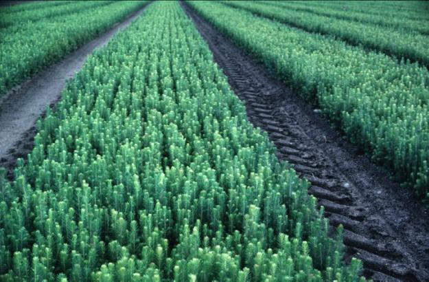 Gran är vanligaste trädslaget i plantproduktionen visar Skogsstyrelsens senaste statistik.