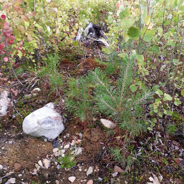 Tallar sådda våren 2015 i brandområdet i Västmanland. Bilden tagen i september 2018.