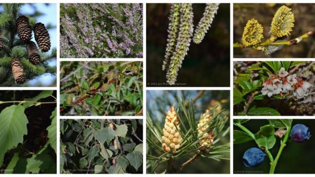 Växter i studien insamlade i Umeå och känsliga för oförutsägbart väder. Längst upp från vänster: Gran, ljung, asp, sälg, gråal, dvärgbjörk, lingon, vårtbjörk, tall och blåbär.