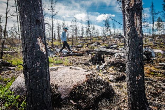 <span>Karl Tiger, skogsvårdsledare på Sveaskog, besöker den 104 hektar stora skogen, som för två år sedan brann utanför &Auml;lvsbyn. Genom täcket av brandskadad skog i det brandhärjade området på Lapmoberget, utanför &Auml;lvsbyn i Norrbotten, växer de gröna tallplantorna upp genom den fortfarande sotade marken. </span>
