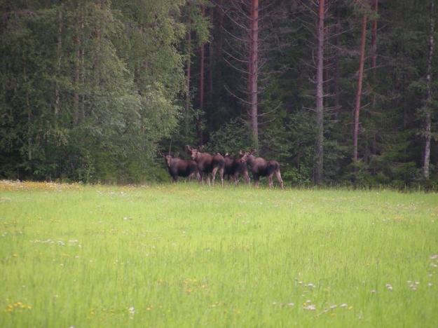 Tolv procent av tallstammarna skadas årligen av älg och andra hjortdjur i Svealand och Gävleborgs län.