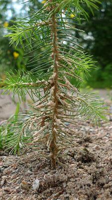 Planta skyddad av sand Conniflex.