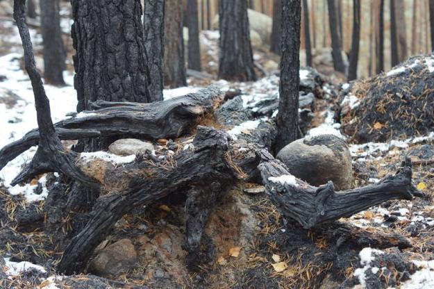 Bränd ved, torrakor, senvuxna träd och tjärved ger unika vedstrukturer som är viktiga för en lång rad insekter, svampar, mossor, lavar och fåglar.