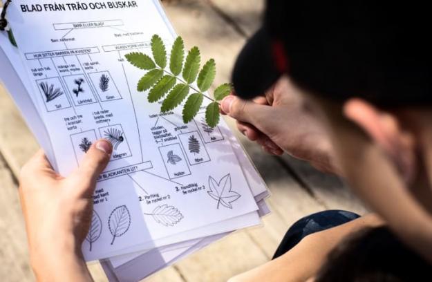 Rönn eller lönn - eller ask? Med hjälp av bestämningsnycklarna kan eleverna ta reda på vad trädet heter.