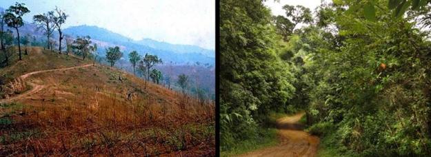 Notera vägen för jämförelse före och efter ett återplantering av skog i Thailand. Foto: S. Elliott, Forest Restoration Research Unit, Chiang Mai University