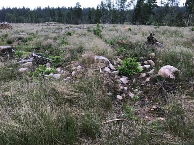 Odlingsröse skadat av markberedning och plantering.